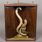 A preserved taxidermy specimen of a cobra (Naja naja) and a mongoose (Herpestes edwardsii) In a
