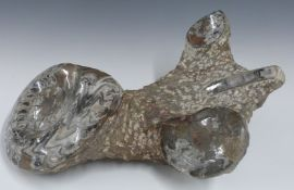 Large multiple fossil sample with polished / highlighted ammonites, length 39 x width 28cm