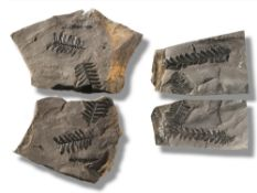 Fossils/Interior Design: Two pairs of positive negative fern plaques 'Neuropteris'Radstock, Oxon,
