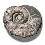 Fossils/Interior Design: An Australiceras ammonite heteromorphVolga River, Russia, Cretaceous22cm