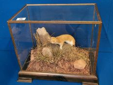 Cased Taxidermy of a Stoat - 35cm high by 44 long
