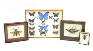 A small collection of taxidermy insects,