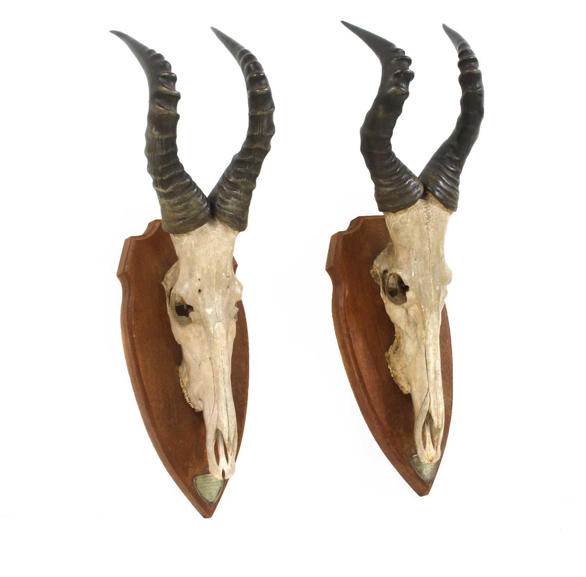 A pair of Jackson's Hartebeest skull trophy mounts, - Image 2 of 4