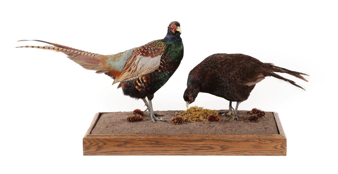 Lot 3046 - Taxidermy: A Pair of Melanistic Pheasants (Phasianus colchicus), modern, by George C. Jamieson,