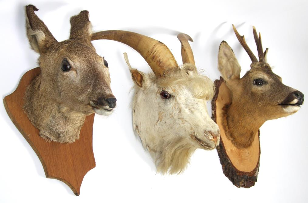 Lot 3020 - Taxidermy: Roe Deer & Domestic White Goat, circa late 20th century, a Roebuck neck mount looking