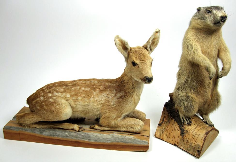 Lot 3014 - Taxidermy: Juvenile Alpine Marmot & Fallow Deer Fawn, circa late 20th century, a full mount juvenile