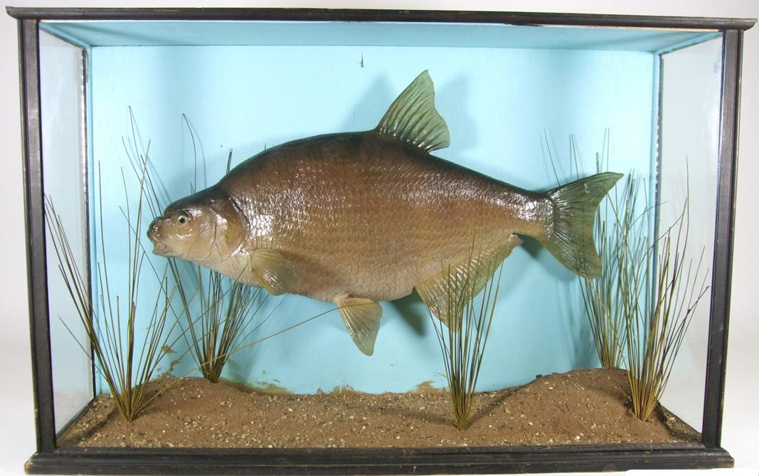 Lot 3019 - Taxidermy: A Large Cased Common Bream (Abramis brama), circa late 20th century, a large fibreglass
