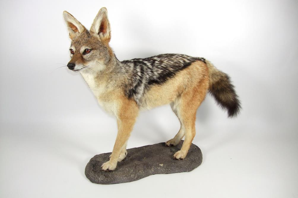 Taxidermy: Black-Backed Jackal (Canis mesomelas), modern, a high quality full mount stood upon a