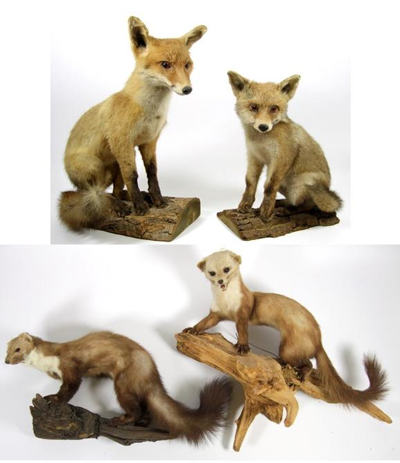 Lot 3016 - Taxidermy: European Countryside Animals, circa late 20th century, two full mount Juvenile Red Foxes,
