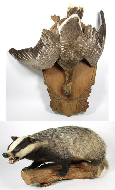 Lot 3032 - Taxidermy: European Badger & Greylag Goose, circa late 20th century, a full mount adult Badger stood