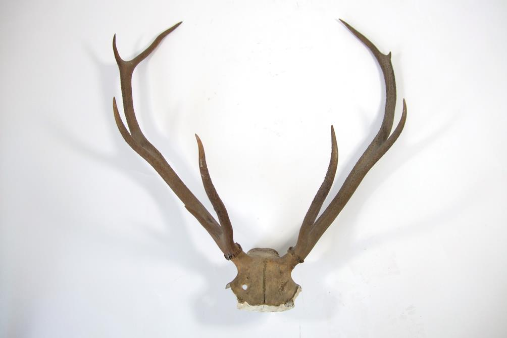 Lot 3008 - Antlers/Horns: A Selection of Trophy Horns & Antlers, a set of Cape Greater Kudu horns on plaster