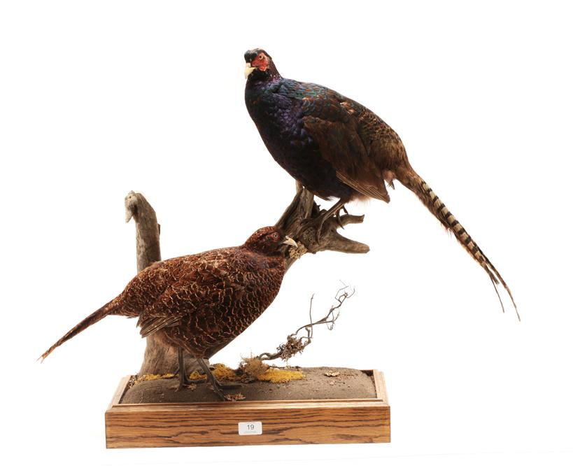 Lot 3037 - Taxidermy: A Pair of Melanistic Pheasants (Phasianus colchicus), modern, by George C. Jamieson,