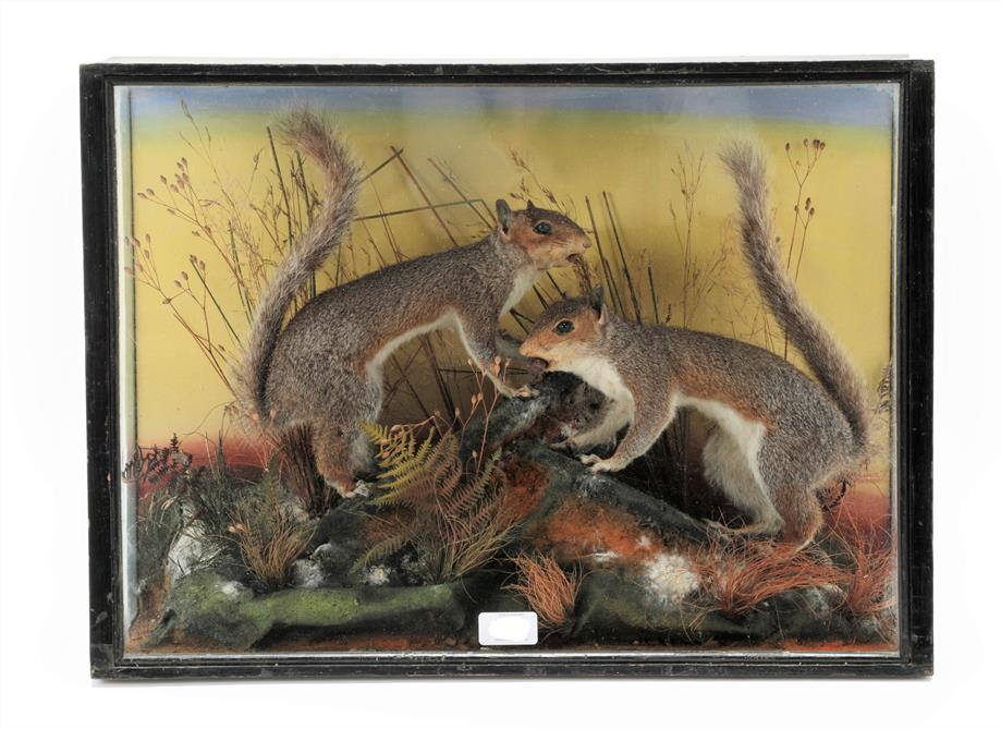 Lot 3001 - Taxidermy: A Late Victorian Cased Pair of Grey Squirrels (Sciurus carolinensis), by Edward