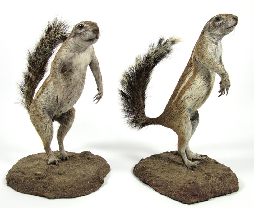 Lot 3055 - Taxidermy: A Pair of Southern Ground Squirrels (Xerus inauris), modern, two full mount adults