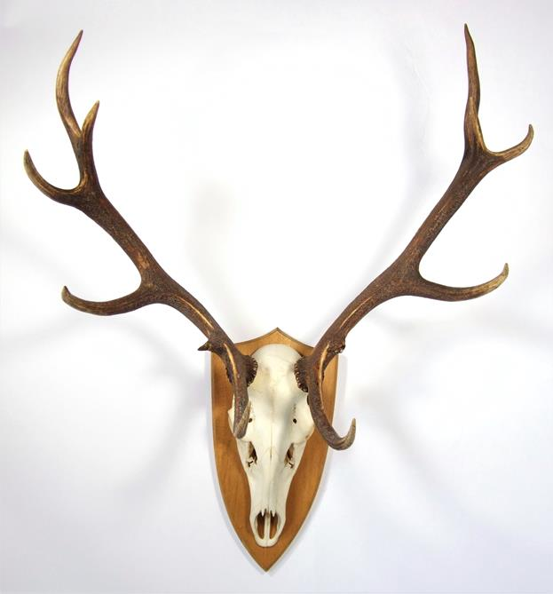 Lot 3050 - Antlers/Horns: European Red Deer (Cervus elaphus), circa October 1999, Tambach-Dietharz, Germany,