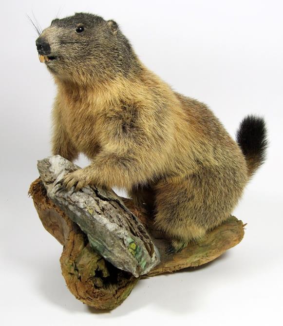 Lot 3053 - Taxidermy: Alpine Marmot (Marmota marmota), circa late 20th century, a full mount adult stood upon a