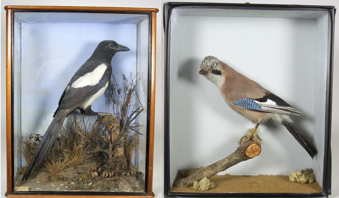 Lot 3044 - Taxidermy: A Cased Jay & Cased Magpie, circa early 20th century, a full mount adult Jay, perched