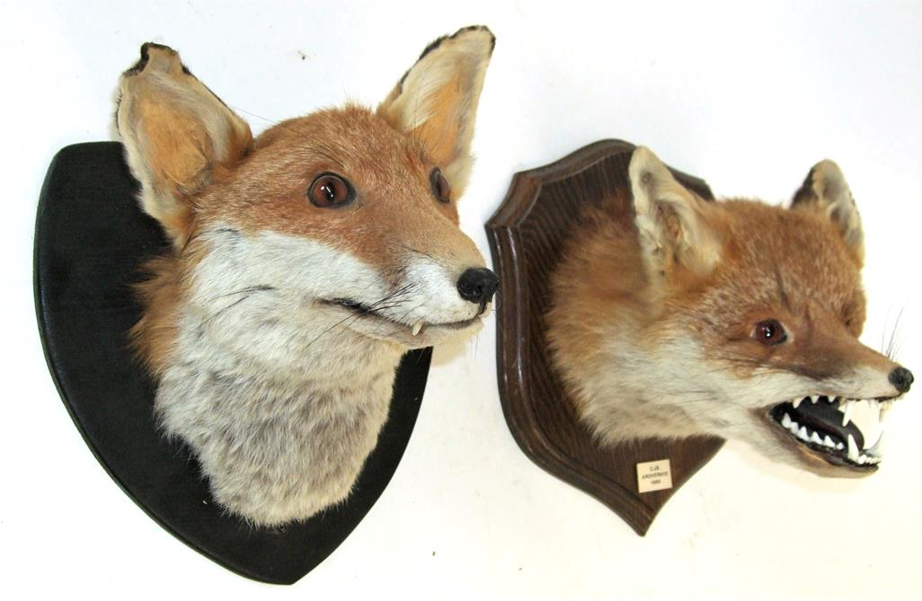 Lot 3005 - Taxidermy: Two Red Fox Masks (Vulpes vulpes), circa 1986 & 1992, adult fox mask looking straight