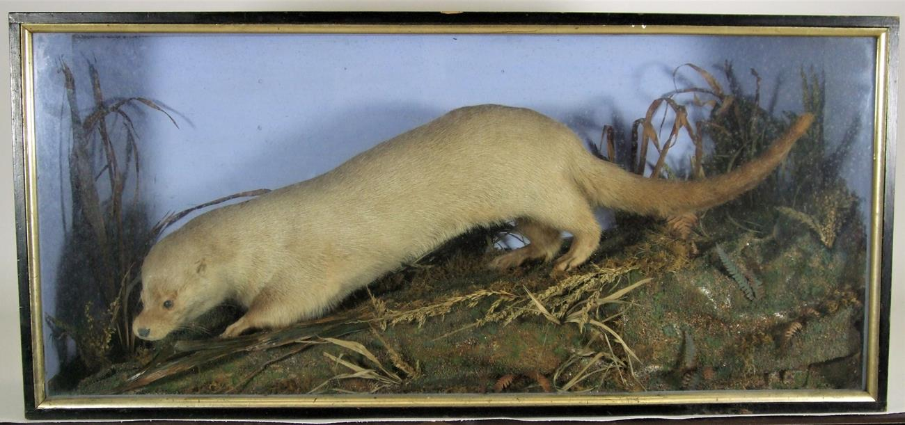 Lot 3045 - Taxidermy: A Late Victorian Cased European Otter (Lutra lutra), a full mount adult with head turning