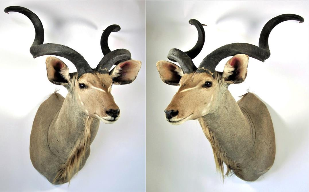 Lot 3039 - Taxidermy: Cape Greater Kudu (Strepsiceros strepsiceros), modern, South Africa, high quality large