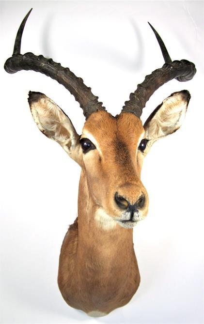 Lot 3031 - Taxidermy: Common Impala (Aepyceros melampus), modern, high quality shoulder mount looking