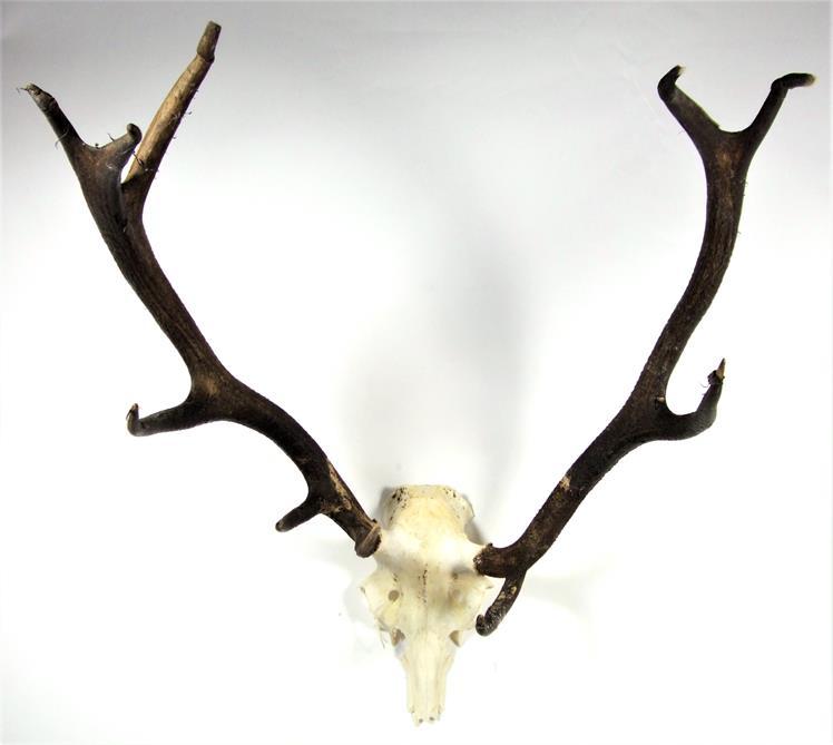 Lot 3011 - Antlers/Horns: European Red Deer (Cervus elaphus), circa late 20th century, adult stag antlers on