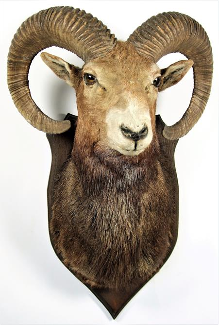 Lot 3049 - Taxidermy: European Mouflon (Ovis aries musimon), circa 1969, adult male approximately 5 year old