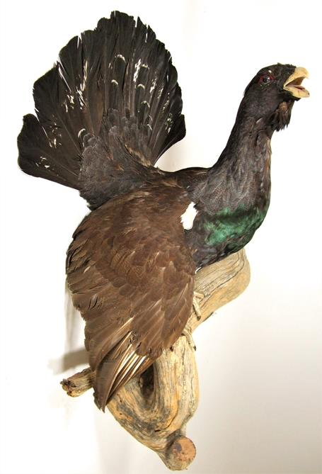 Lot 3024 - Taxidermy: European Capercaillie (Tetrao urogallus), circa late 20th century, large full mount