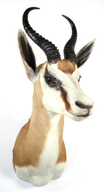 Lot 3013 - Taxidermy: South African Springbok (Antidorcas marsupialis), modern, high quality shoulder mount