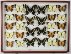 Entomology: A Large Glazed of Display of African Butterflies, circa 21st century, containing