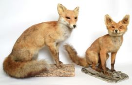 Taxidermy: European Red Fox (Vulpes vulpes), circa late 20th century, full mount adult with head
