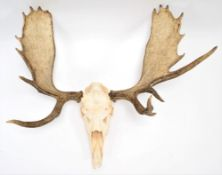 Antlers/Horns: A Large Set of European Moose Antlers (Alces alces), circa late 20th century, a large