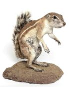Taxidermy: Southern Ground Squirrel (Xerus inauris), modern, full mount adult in stooped pose,