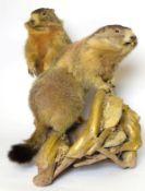 Taxidermy: A Pair of Alpine Marmot's (Marmota marmota), circa late 20th century, a pair of large