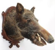 Taxidermy: European Wild Boar (Sus scrofa), circa early 21st century, young adult male head mount