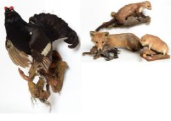 Taxidermy: A Group of European Countryside Animals and Birds, comprising - Red Fox full mount laid