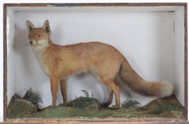 Taxidermy: A Late Victorian Cased Red Fox (vulpes vulpes) an adult full mount with head turning to