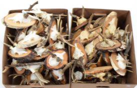 Antlers/Horns: European Roebuck (Capreolus capreolus), circa mid-late 20th century, sixty sets of