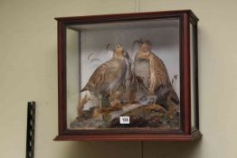 Cased taxidermy of a male and female grey partridge.