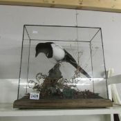 Taxidermy - a cased magpie.