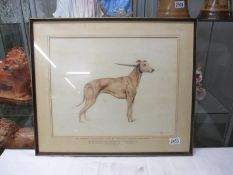 A framed and glazed study of a greyhound entitled 'Mr John Bells Red Fawn Dog Just Better' signed