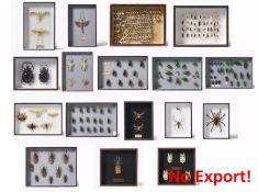 17 ENTOMOLOGISCHE KÄSTEN MIT KÄFERN, ANDEREN INSEKTEN UND SPINNEN. Technik: Insektenpräparate, teils