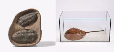 GROßE PLATTE MIT ZWEI TRILOBITEN. Datierung: Marokko, vor 410-360 Millionen Jahren. Technik: