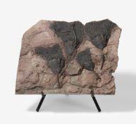 GROßE PLATTE MIT VERSTEINERTEN SEELILIEN. Datierung: Marokko. 417-354 Millionen Jahre. Technik: