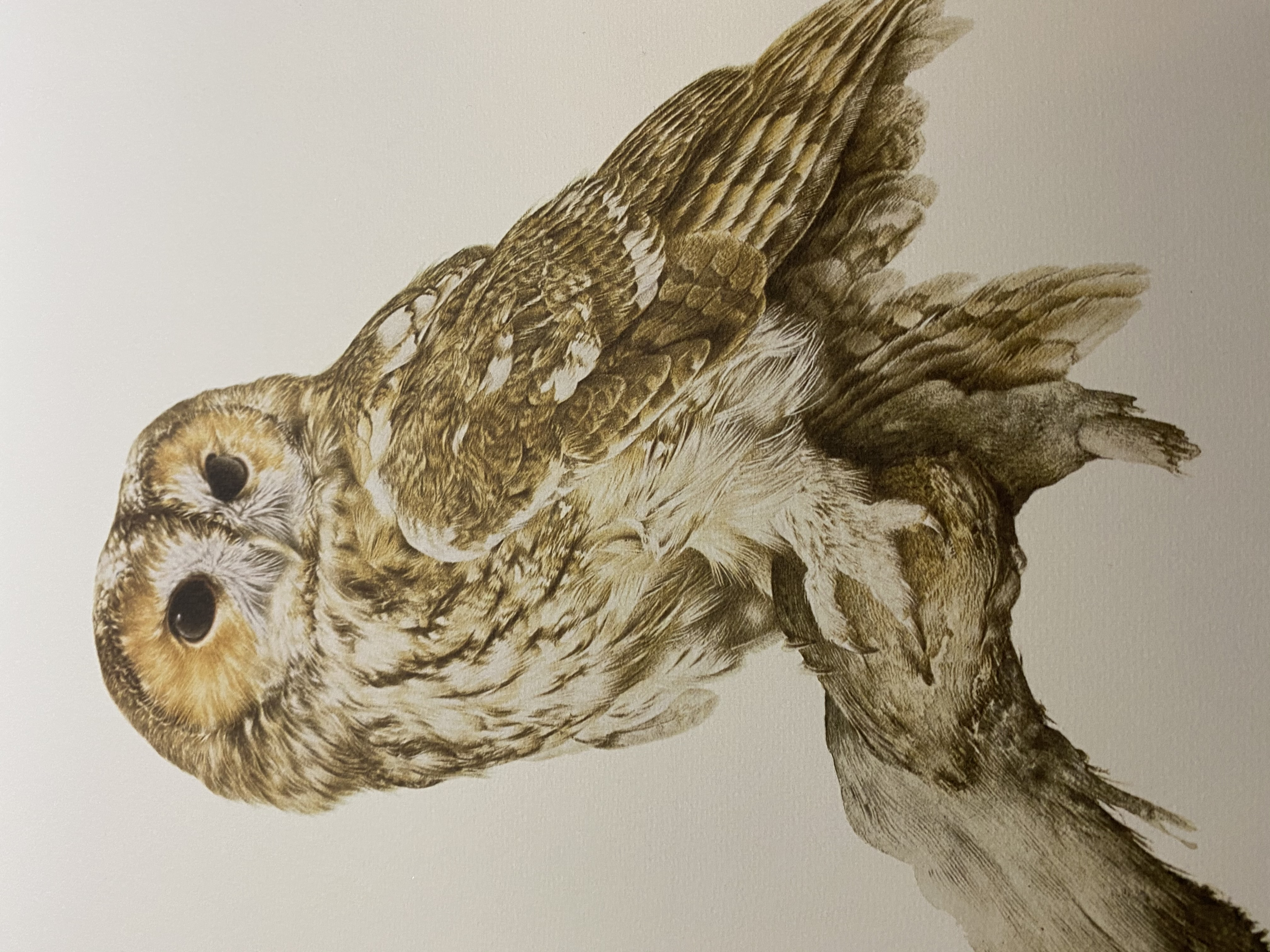 G Bryan Reed Large Rare Limited Edition print 'Tawny Owl Strix Aluco' - Image 9 of 11