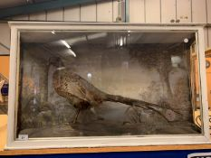 A TAXIDERMY PHEASANT IN DISPLAY CASE WITH HANDPAINTED BACKDROP SCENE