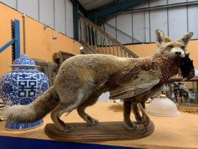 A LARGE TAXIDERMY MODEL OF A FOX WITH A PHEASANT ON A WOODEN PLINTH APPROXIMATELY 80CM LONG