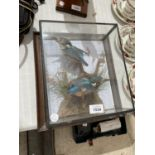 A CASED PAIR OF TAXIDERMY KING FISHERS
