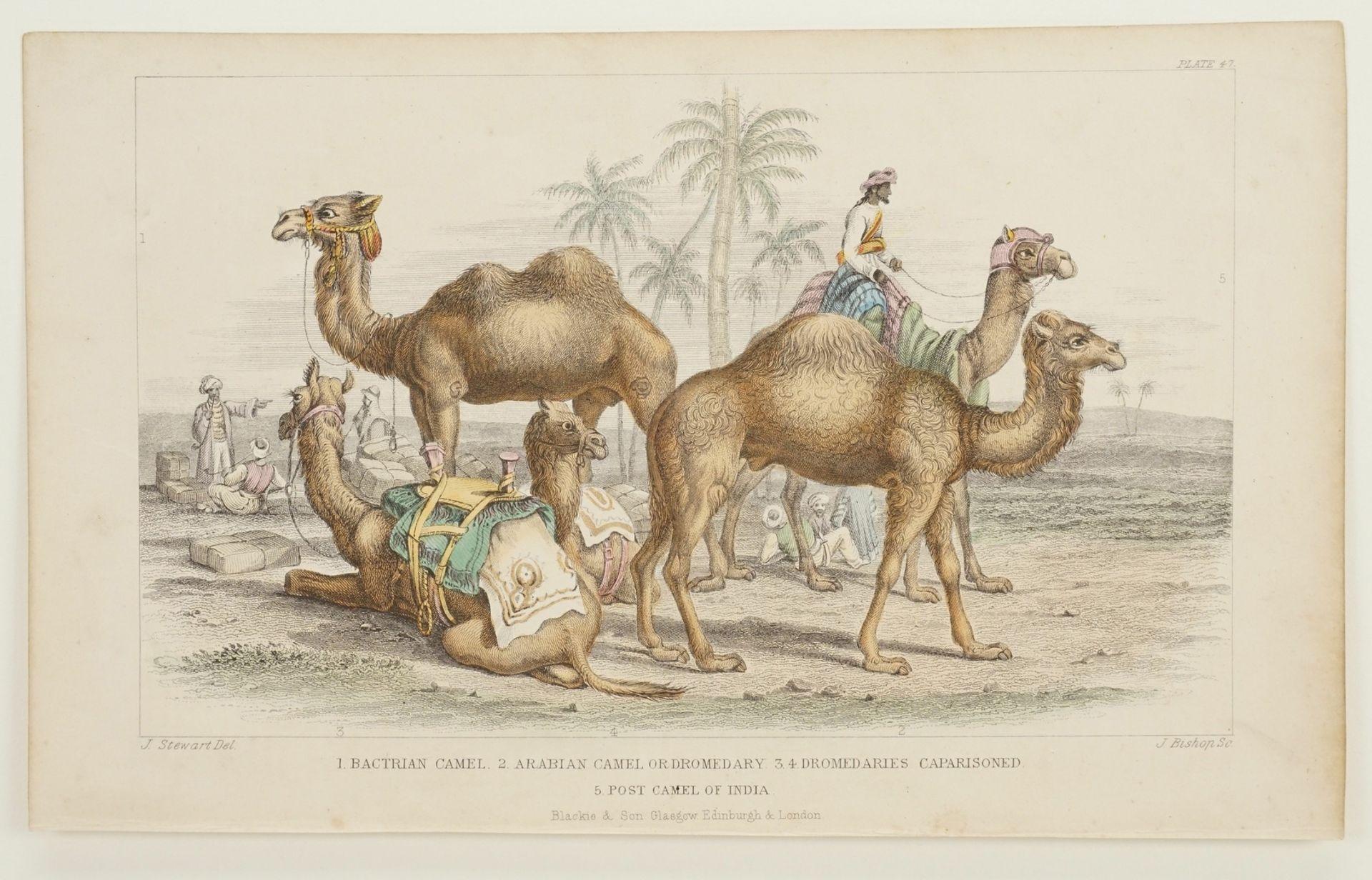Naturkundliches Blatt zu Kamelen - Bild 3 aus 3