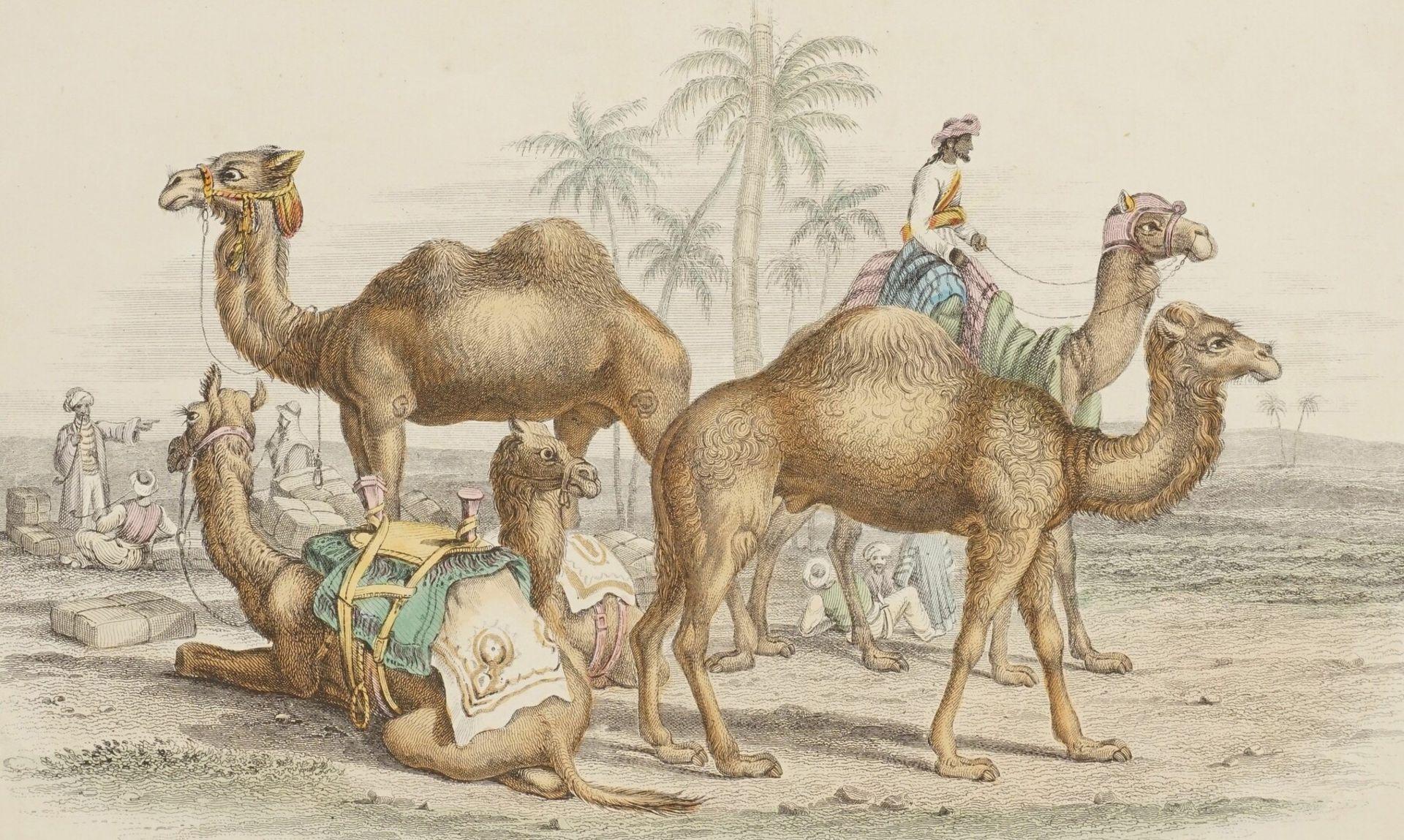 Naturkundliches Blatt zu Kamelen